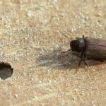 Esemplare adulto di Anobium punctatum