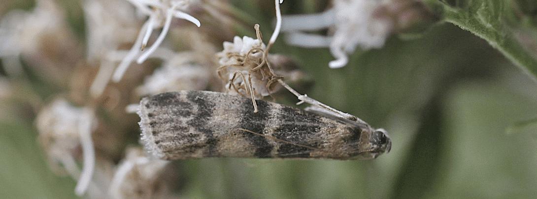 Disinfestazione Tignola dell'Olivo