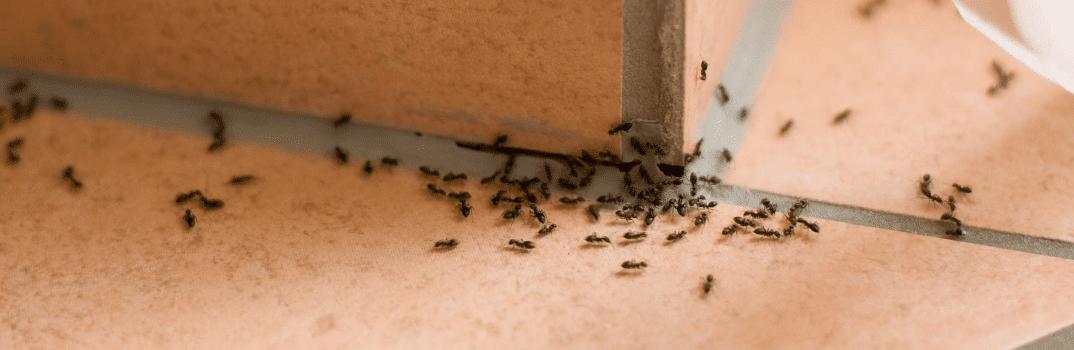 Come eliminare le formiche in casa bio - Come debellare le formiche in casa ...
