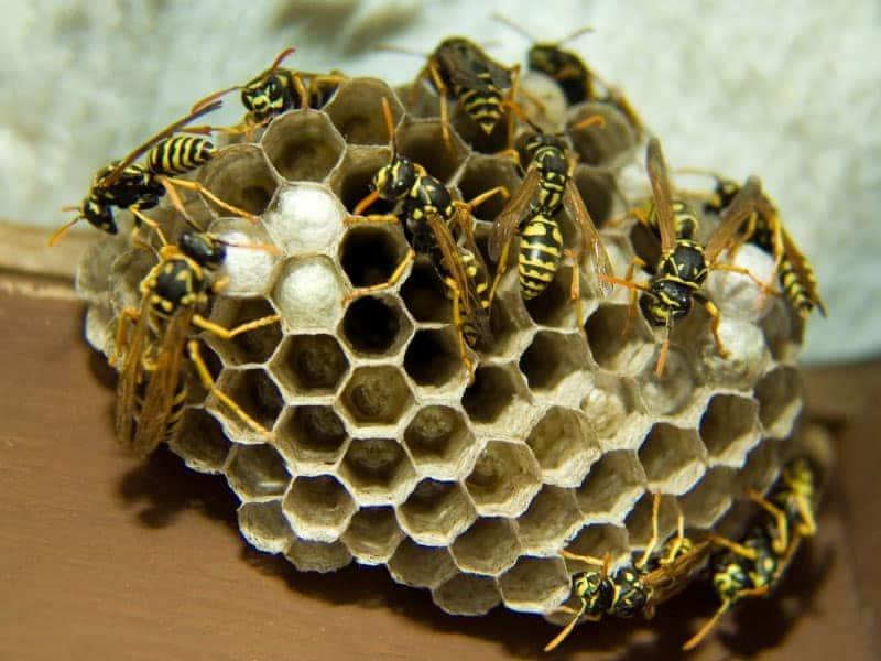 alveare di vespe