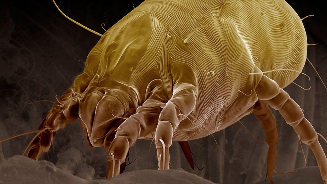 Come Uccidere Acari Della Polvere come eliminare gli acari dal materasso? - bio-disinfestazione.it